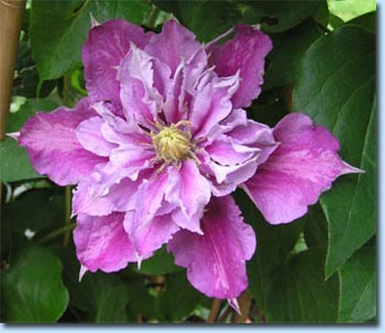 british clematis society web site. Black Bedroom Furniture Sets. Home Design Ideas